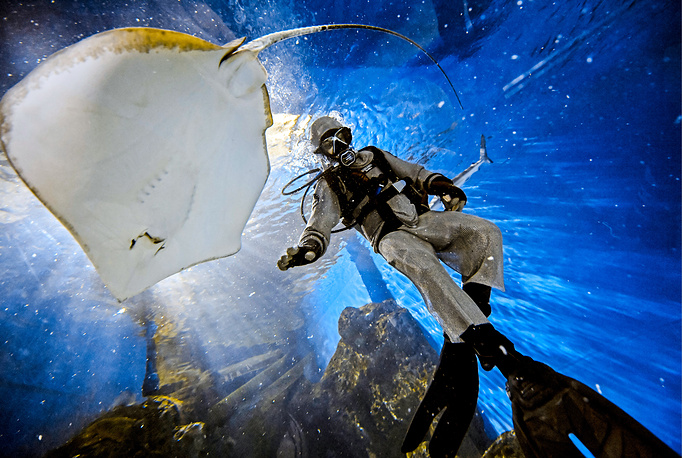 A diver feeding a ray fish at Okeanskaya Bezdna [Oceanic Abyss], a section of the Primorsky Aquarium of the Far Eastern Branch of the Russian Academy of Sciences on Russky Island