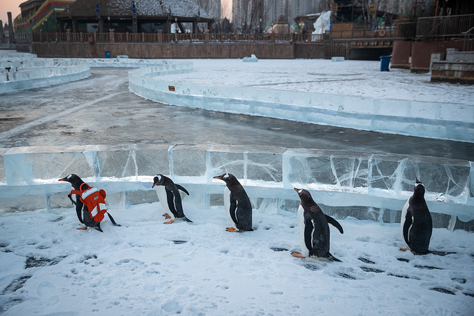 Antarctic penguins appear to follow a fellow with a backpack in the 'Harbin Polarland' tourist area