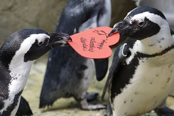 African penguins compete for a heart shaped valentine at the California Academy of Sciences in San Francisco, February 12. The hearts were handed out to the penguins who naturally use similar material to build nests in the wild