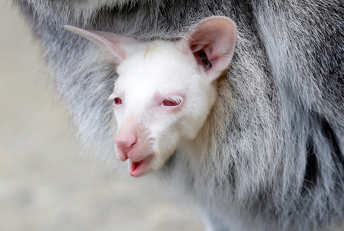 A newly born albino red-necked wallaby joey is being carried by its mother in their enclosure at the zoo in Decin, Czech Republic, March 13