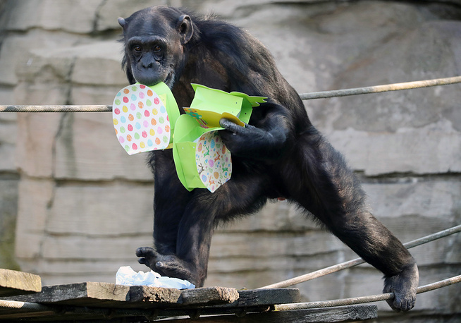 A chimpanzee collecting boxes with Easter treats at the zoo in Hanover