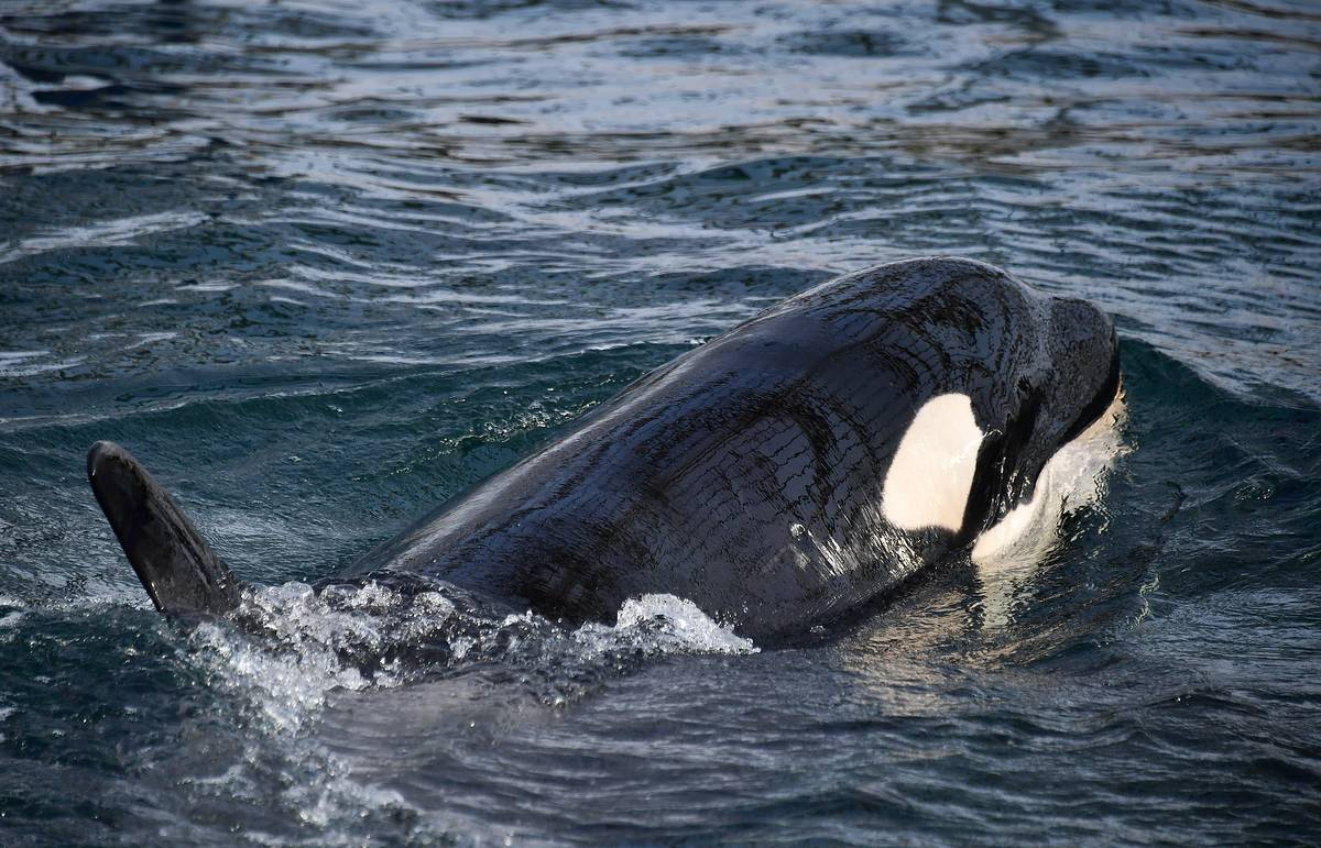 Keeping orcas in enclosures is more dangerous than releasing them, ecologists say