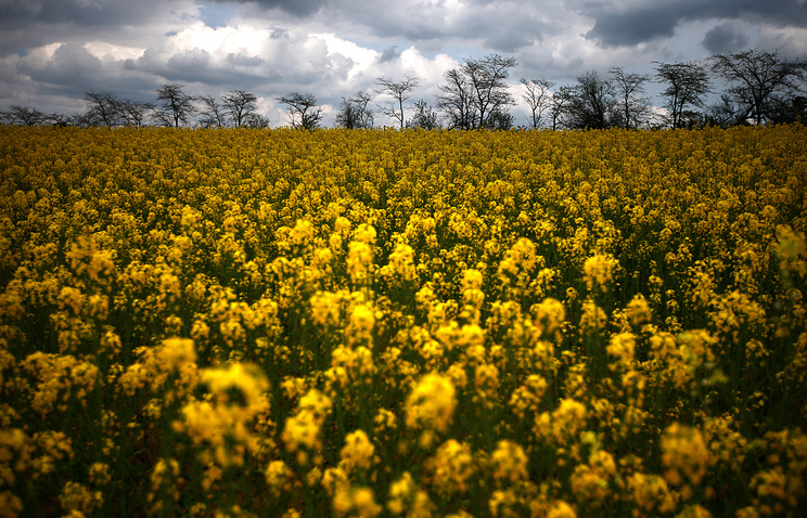 Crimea. Rapeseed field in the Belogorsk region